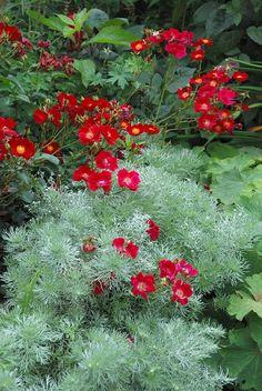 Artemisia schmidtiana `Nana` (Alsem)