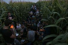 Syrian Migrants hide in a cornfield meters from the Hungarian border in Serbia. (Darko Vojinovic / AP)
