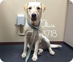 Alice - URGENT -  Alvin Animal Adoption Center in Alvin, Texas - ADOPT OR FOSTER - Adult Female Lab Retriever Mix