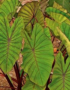 Colocasia esculenta Blue Hawaii PP 20003 (Blue Hawaii Elephant Ear) : (aka: Colocasia There's nothing blue about this 2008 John Cho hybrid, except for you if you don't get one before we sell out. The medium g. Colocasia, Landscaping With Rocks, Perennials, Plants, Tropical Garden, Rabbit Resistant Plants, Tropical Landscaping, Deer Resistant Plants, Elephant Ear Plant