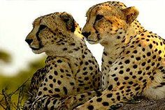 Hoedspruit Endangered Species Centre, South Africa. Cheetahs. Stop Animal Testing, Kruger National Park, Cheetahs, African Animals, Endangered Species, Africa Travel, Big Cats, Animals Beautiful, Tigers