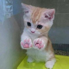 27 great cat pictures when life is shitty again - And this tiny kitten with the perfect paws. And this tiny kitten with the perfect paws. And this ti - Cute Funny Animals, Cute Baby Animals, Funny Cats, Cute Kittens, Kittens Cutest Baby, Ragdoll Kittens, Siamese Cats, Beautiful Cats, Animals Beautiful