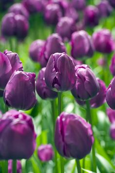 Buy triumph tulip bulbs Tulipa 'Negrita': Delivery by Crocus.co.uk