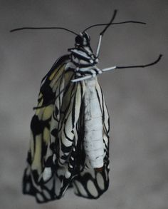A newly emerged butterfly drying its wings, Butterfly Pavilion