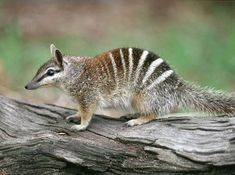 <b>Allow me to introduce the sweetest li'l secret on this fine earth: the NUMBAT.</b> These endangered little marsupials are Australian, adorable, useful (they eat as many as 20,000 termites per day!), and they are also known as Walpurti. Walpurti!