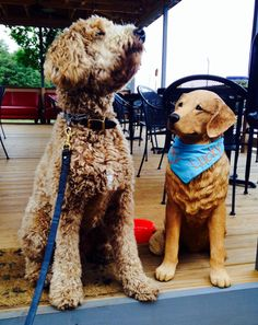 Out to lunch at Lucky's.  Indy the Goldendoodle.  Training for  to be a Therapy Dog.