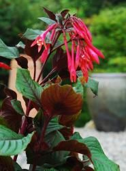 Fuchsia triphylla 'Gartenmeister' via www.avantgardensne.com