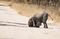 It's a moment he'll want to forget, if he can: A baby elephant face-plants the ground in Zimbabwe