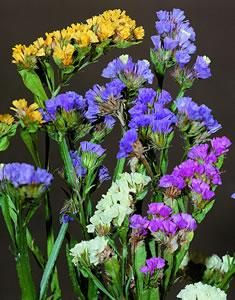 Limonium is available for Brides in Scotland in February. Contact the Stockbridge Flower Company for more details.
