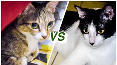 Video CATS will make you LAUGH YOUR HEAD OFF   Funny Cats Compilation   Billi & Bella   Cat Fight