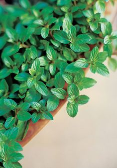 One of the oldest and most popular garden herbs, peppermint is a cure-all when it comes to digestive ailments. - Grow these plants and herbs to unlock their natural medicinal powers. Types Of Christmas Trees, Benefits Of Organic Food, Types Of Herbs, Peppermint Leaves, Herbs Indoors, Garden Types, Garden Show, Growing Herbs, Growing Gardens