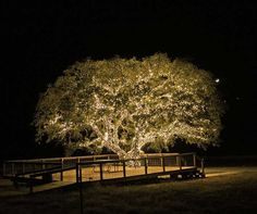 oak tree lighting - Google Search