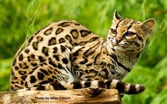 Margay Margay Cat, Domestic Cat Breeds, Rainforest Animals, Lion Of Judah, Ocelot, Leopards, Big Cats, Cheetah, Lions