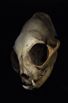 cat skull angle by PokoAchondria.deviantart.com on @DeviantArt