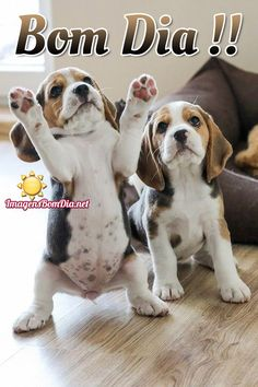 Are you interested in a Beagle? Well, the Beagle is one of the few popular dogs that will adapt much faster to any home. Cute Beagles, Cute Puppies, Cute Dogs, Dogs And Puppies, Puppies Tips, Doggies, Baby Animals, Funny Animals, Cute Animals
