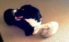 smooth coated border collie (OLLY), loves his footy! Large Dogs, Small Dogs, Short Haired Border Collie, Collie Breeds, Aussies, Border Collies, Dog Boarding, Adorable Animals, Dog Love