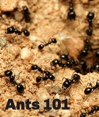 A Guide to Identifying Common Ant Species