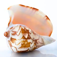 Noble Volute. beautiful sea shell