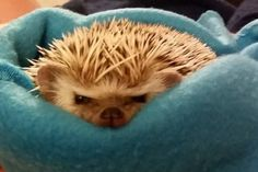 Grumpy little hedgehog
