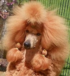 Beautiful red standard poodle. Journey.