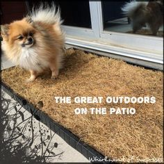 Whirlwind of Surprises: The Great Outdoors Right on The Patio #DoggieLawnPlus #pets #ad #dogs