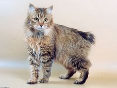 20 Most Affectionate Cat Breeds in The World - Singapura Cat - ideas of Singapura Cat - Most Affectionate Cat Breeds The post 20 Most Affectionate Cat Breeds in The World appeared first on Cat Gig. Pretty Cats, Beautiful Cats, Cute Cats, Singapura Cat, American Bobtail Cat, Manx Cat, Cat Reference, Exotic Cats, Pet Paws