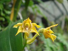 Dendrobium macrophyllum var. ternatense