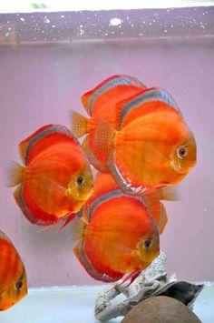 Cichlid Aquarium, Saltwater Aquarium Fish, Tropical Fish Aquarium, Tropical Fish Tanks, Pretty Fish, Cool Fish, Beautiful Fish, Tropical Freshwater Fish, Freshwater Aquarium Fish