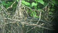 El rascón pectoral (Lewinia pectoralis)2 es una especie de ave gruiforme de la familia Rallidae. Se encuentra en Australia, la isla de Flores y Nueva Guinea. Su hábitat natural es el bosque tropical húmedo.3