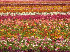 Carlsbad Flower Fields - San Diego, CA