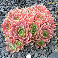 sempervivum, from Cactus Kadeh Succulent Gardening, Planting Succulents, Garden Plants, House Plants, Planting Flowers, Types Of Succulents, Colorful Succulents, Growing Succulents, Sempervivum