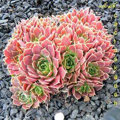 sempervivum, from Cactus Kadeh