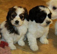 Cockapoo puppies...aren't we cute!!