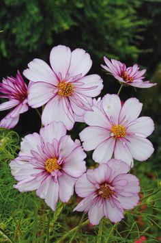 Rosenskära, Cosmos bipinnatus 'Psyche White Picotee' | Halvfylld rosenskära vars vita blommor har rosenröda kanter. Passar bra även för kruka. Blommar först när dagarna blir lite kortare men håller ut ända fram tills frosten tar den. Så inomhus 1– 2 månader före utplantering. Blommar juli– oktober. Höjd 60– 90 cm, sol eller halvskugga. Garden Inspiration, Cosmos, Gardening Tips, Outdoor Gardens, Flowers, Plants, Beautiful, Heavenly, Tattoos