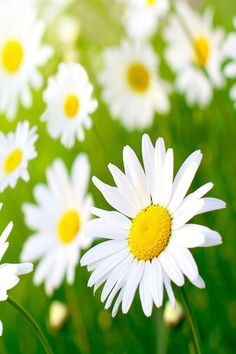 Shasta daisies - bright-looking, sunny, and cheerful. Summer encapsulated.