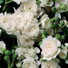 the fairy rose - Google Search