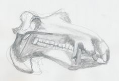 Nijlpaard Tanja's schedel / Hippo skull www.dessindestin.com Pictures To Draw, Skull, Drawings, Art, Art Background, Kunst, Sketches, Performing Arts, Drawing