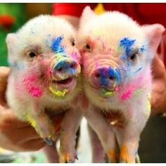 Adorable messy piggies!
