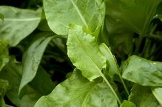 Sorrel – Rau Chua | Vietnamese - Asian Herbs | Growing, Cooking, Recipes, and Storing