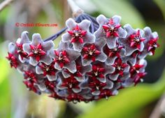 Hoya pubicalyx Black Dragon isn´t a hybrid, the outstanding plant has been found on Luzon Island at the Philippines.