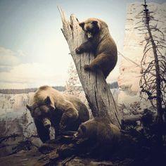 bear diarama