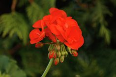 Geranium - Coral Red Photo © C.Stefan (ArtStudio29)  #plant #nature #blossom #floral #flower #bloom #garden #summer #geranium #green #petal #blooming #red #botanical #natural, #flora, #gardening, #botany, #bright, #bud, #isolated, #fresh, #closeup, #outdoor, #horticulture, #macro, #geranium flower, #geraniaceae, #geraniums, #house plants, #geraniales, #geraniaceae family, #vibrant, #coral red, #blooming geranium