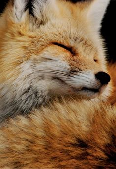 Fox   ...........click here to find out more     http://googydog.com              ...... P.S. PLEASE FOLLOW ME IN HERE @Emily Schoenfeld Schoenfeld Wilson