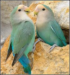 beautiful aqua birds   ...........click here to find out more     http://googydog.com