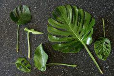 Monsterblatt ist nicht gleich Monsterablatt Indoor Trees, Monster, Plant Leaves, Plants, Plant, Planets