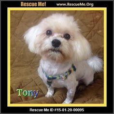Rescue Me ID: 15-01-20-00095Tony (male)  Maltese Mix  Age: Young Adult  Compatibility:Good with Most Dogs, Good with Kids and Adults Personality:Average Energy, Average Temperament Health:Neutered  Hi friends my name is Tony. I'm a 2 year old maltese mix and weigh 7lbs. I didn't always look this handsome. I found roaming the busy streets in Miami. I was dirty, matted, and hungry. Luck for me caring people kept me safe until I got to P2CC. I am now here meeting new friends ...