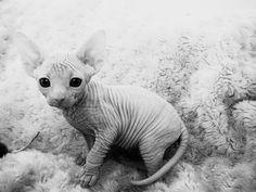 I really want one.. #kitty #cat #pussycat #hairless
