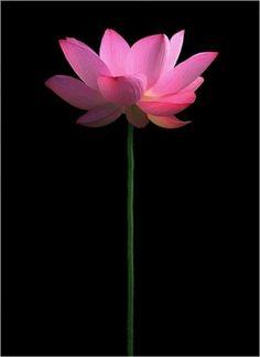 One single lotus