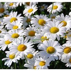 Shasta Daisy: Zone 6, perennial, summer blooms, full or half sun, easy to grow.