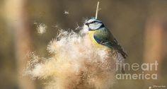 Typha Flying Seeds Blue Tit - Photo by Jivko Nakev